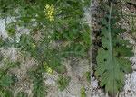 Französische Rampe / Erucastrum gallicum / Petersinsel 14.7.2020