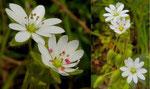Stellaria neglecta / Übersehene Vogelmiere