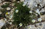 Feinblättrige Miere / Minuartia capillacea / La Dôle 28.6.2020