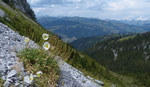 Westlicher Alpen-Mohn / Papaver occidentale