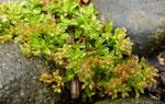 Vierblättriges Nagelkraut / Polycarpon tetraphyllum,  typischerweise im Strassenpflaster