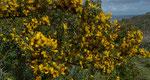 Behaarter Dornginster / Calicotome villosa,  im ganzen Mittelmeerraum vorkommend