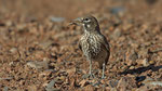 Knackerlerche - Thick - billed Lark