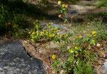 Gold-Klee / Trifolium aureum / Gondo 17.7.2020