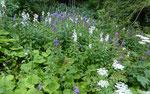 Breitblättrige Glockenblume / Campanula latifolia