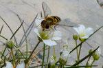 94:Grossblütiges Sandkraut / Arenaria grandiflora / Chasseral 25.6.2020