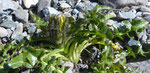 Triglav-Pippau/Crepis terglouensis