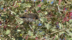 Dusky Sunbird / Russnektarvogel