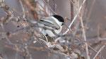 Weidenmeise Parus montanus borealis; Varanger Norway