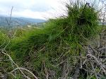Ephedra foeminea \ Krummstiel-Meerträubel         Balkan, Griechenland, Türkei