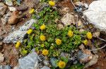 Steife Hundskamille / Anthemis rigida,  Griechenland, Türkei