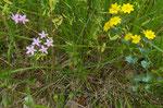 148 : Echtes Tausendgüldenkraut / Centaurium erythraea und Durchwachsener Bitterling / Blackstonia perfoliata / Vallon de l`Allondon 10.7.2020