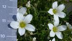 93: Grossblütiges Sandkraut / Arenaria grandiflora / Chasseral 25.6.2020
