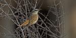 Kalahari Scrub-Robin / Kalahariheckensänger