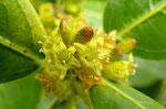 Immergrüner Kreuzdorn / Rhamnus alaternus, ein typischer Märzblüher, in Macchien