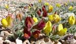058-Lotus maroccanus  var. eriosolen
