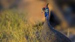 Helmeted Guineafowl / Helmperlhuhn