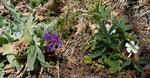 Trionfettis Flockenblume / Centaurea triumfettii  und Weisses Fingerkraut / Potentilla alba / Monte Caslano 27.3.2019
