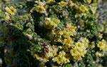 Behaarte Spatzenzunge / Thymelaea hirsuta, im ganzen Mittelmeerraum vorkommend