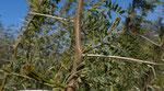 122-Vachellia nilotica subsp. kraussiana