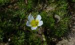 Spreizenderer Wasserhahnenfuss / Ranunculus circinatus