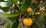 Westlicher Erdbeerbaum / Arbutus unedo, fängt im Oktober an zu blühen