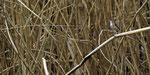 Tigerfink