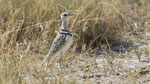 Doppelband - Rennvogel / Double - banded Courser
