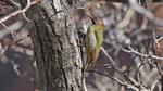 Atlasgrünspecht - Levaillant's green woodpecker