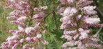 141-Tamarix articulata