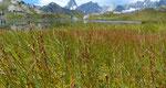 Sumpf-Dreizack / Triglochin palustris / Lac de Fenêtre 27.8.2020