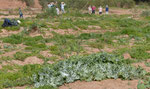 089-Onopordum macracanthum