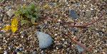 Hypecoum procumbens - Niederliegende Lappenblume  blüht ab März