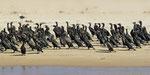 Kapscharbe / Cape Cormorant