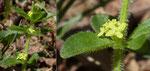Piemonteser Kreuzlabkraut / Cruciata pedemontana,  Blütendurchmesser nur 1 mm / Monte Caslano 27.3.2019
