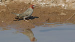 Red-headed Finch / Rotkopfamadine