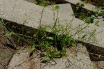 26 : Wendich oder Kalepine / Calepina irregularis / am Hoger Bremgarten 17.5.2020