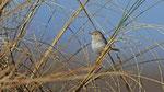 Saharagrasmücke - African Desert Warbler