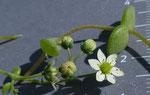 165 : Dickblättriger Mauerpfeffer / Sedum dasyphyllum / Gondo 17.7.2020