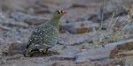 Double-banded Sandgrouse / Nachtflughuhn Männchen