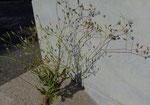 Schöner Pippau / Crepis pulchra / La Plaine GE 10.7.2020
