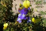 023-Ononis natrix  und Linaria bipartita