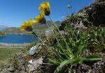190 : Alpen-Habichtskraut / Hieracium alpinum / Col de Chassoure 9.8.2020