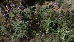 Griechischer Salbei / Salvia fruticosa, rechts Brandkraut
