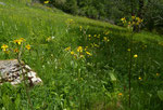 42 - 44 : Alant-Greiskraut / Tephroseris helenitis / Les Hautes Roches 26.5.2020