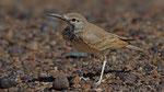Wüstenläuferlerche - Hoopoe Lark
