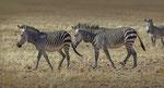 Hartmann's Mountain Zebra / Hartmann's Bergzebra