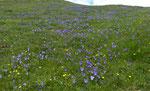 112 : Langsporniges Stiefmütterchen / Viola calcarata / Eggerhorn ob Binntal 1.7.2020
