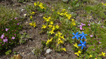 Goldprimel / Androsace vitaliana / Eggerhorn ob Binntal 1.7.2020
