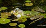 Frosch mit Froschbiss / Hydrocharis morsus-ranae
